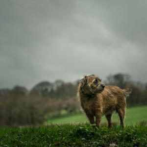 A mature adult Border Terrier, enjoying some exercise in the rain