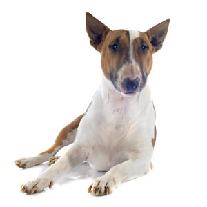 A brown and white adult Bull Terrier showing off it's pointed ears