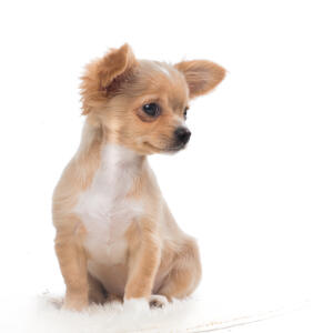 A light brown coated Chihuahua puppy with a soft coat