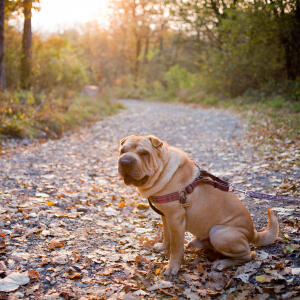 An adult Chinese Shar Pei sitting neatly outside