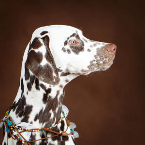 A close up of a Dalmatian's wonderful, soft, spotted coat