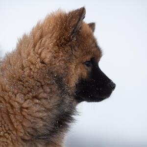 A young Eurasier's wonderful thick coat and pointed ears