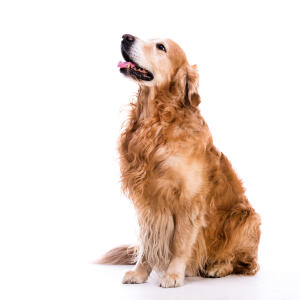 An adult Golden Retriever with a beautiful long, curly coat