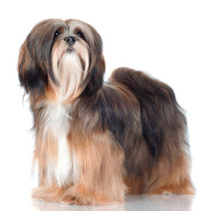 A beautiful Lhasa Apso with a well kept coat and big bushy tail