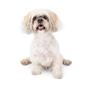 A little white Lhasa Apso with a short trimmed coat and big bushy ears