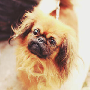 A close up of a Pekingese's stubby nose and beautiful, long ears