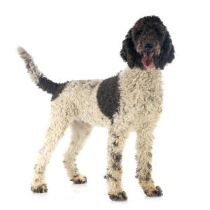 A beautiful curly coated Portuguese Water Dog standing tall
