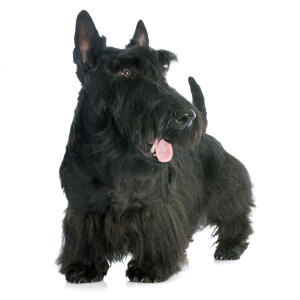 A healthy, adult Scottish Terrier with a beautiful thick, black coat