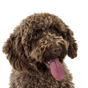 A close up of a Spanish Water Dog's incredible curly coat