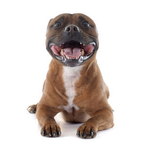 An excitable and playful young Staffordshire Bull Terrier panting