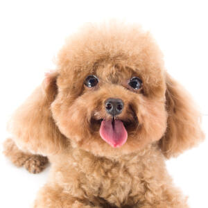 A close up of a Toy Poodle's beautiful little face