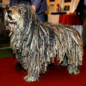 A healthy adult Bergamasco's distinctive corded coat