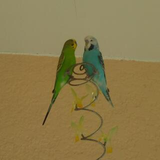 A green American parakeet with a blue English budgie.