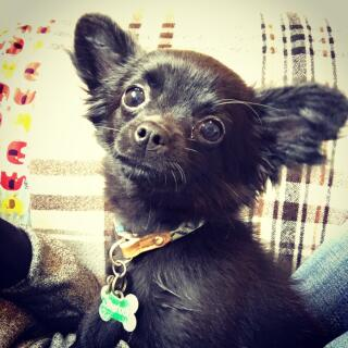 Black, long haired Chihuahua puppy.