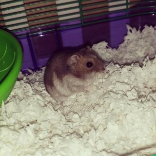 This is Harry our djungarian hamster