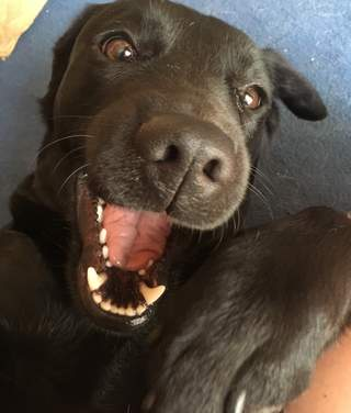 Silly Ruby the black lab