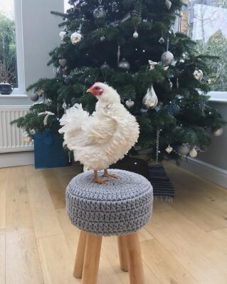 Christmas Lilly the frizzle! Even tho she has a lovely warm Eglu she likes to come inside whenever she gets the chance!