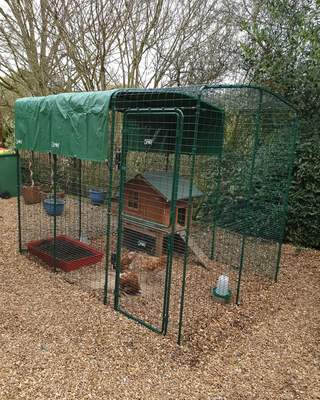 Ex battery chickens new home