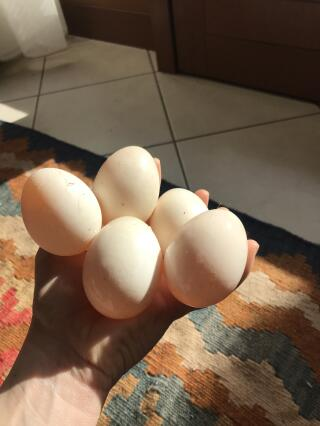 White Duck eggs