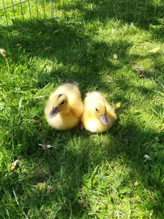 1 week old miniature appleyard ducklings