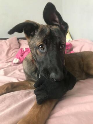 13 week old malinois puppy