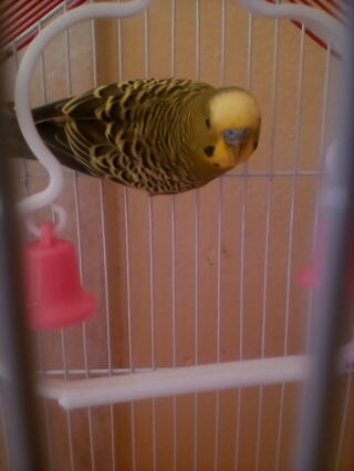 My first Budgie Baby ...