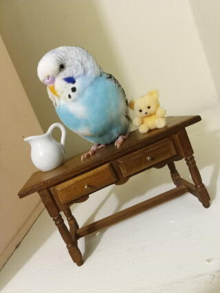 Took pictures of my budgie with some toys from a small doll house
