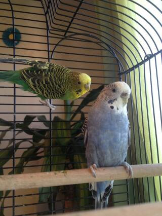 I'm not sure if my budgies are sick can someone can help I wanted know why they have feathers like those