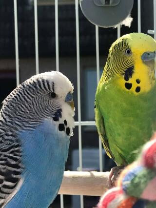 Blue and green males