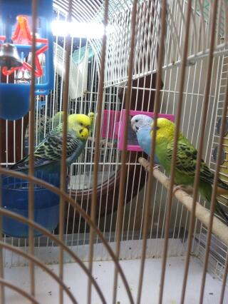 These are my cute little parakeets! Kiwi,rose(boy),and blue barrie