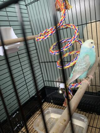 Could anyone tell me what type of budgie my bird is and what sex please as I'm unsure