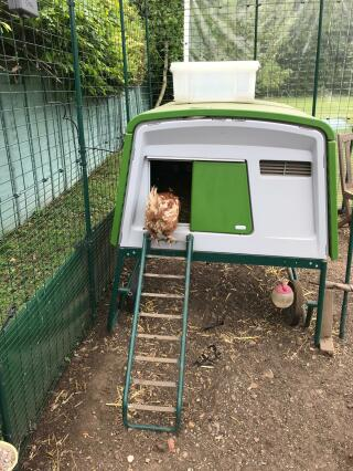 Our new rescue chicken checking out her new home!