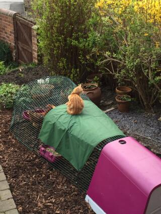 Samantha the cat keeping a close eye on the new chickens