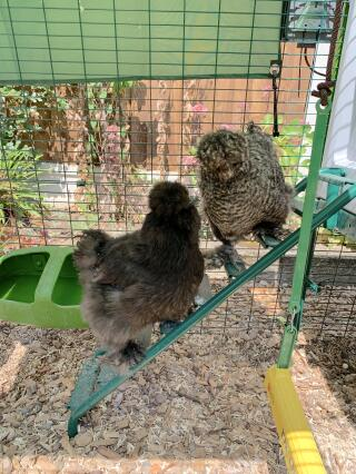 Silkies making easy work of the ladder with the help of the grips!