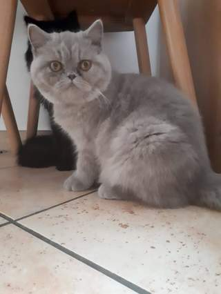 Meine Exotic Shorthair in Lilac