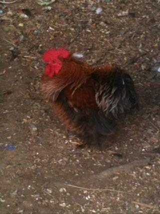 OUR NEW FRIZZLE ROOSTER... HE IS SO BEAUTIFUL