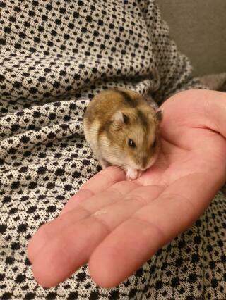 Our Russian dwarf hamster Hilda