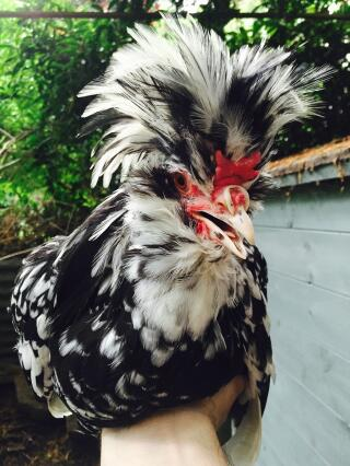 Young Houdan Cockerel