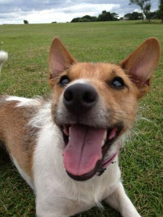 Charlie the JRT who's smile makes everyday a great day
