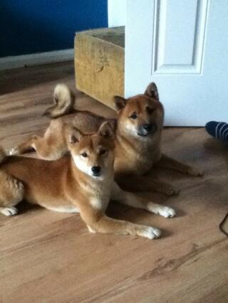 Male and Female Shiba Inu