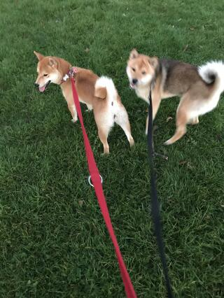 My red and red sesame shiba inu puppies