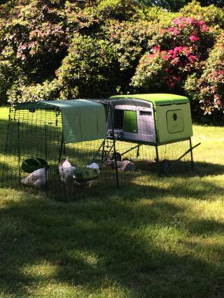 Our new Sussex chickens getting used to their new home