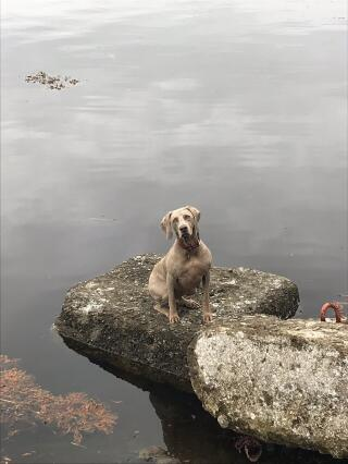 Weimaraner by the loch