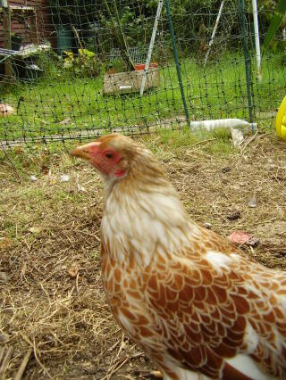caramel. our buff laced wyandotte bantam