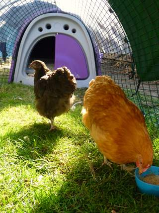 Orpington Bantams in their new home