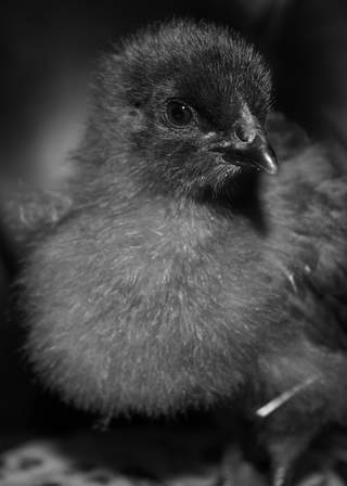 Bluebelle chick 2 weeks