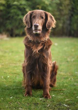 An adult Flat Coated Retriever