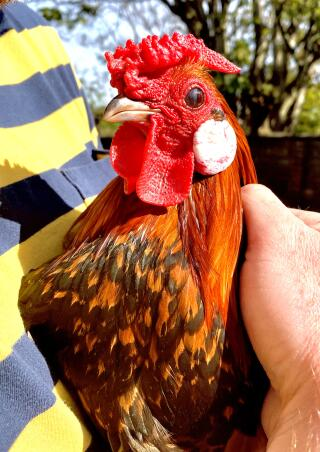 Boris our 10 month old Dutch Bantam cockerel