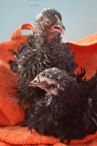 Frizzle Chicks Photo Shoot