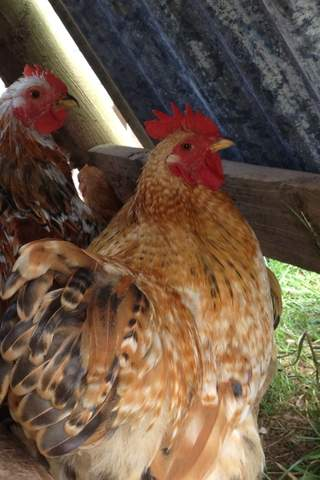 Pekin. Cockerel